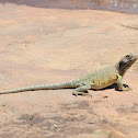 Eastern collared lizard (female)