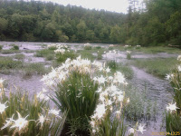Cahaba River Lilly Bloom Photo