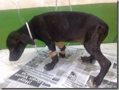 hepatitis en perros (6)