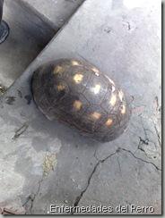 tortuga enferma (3)
