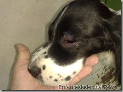 Alergia en perros (3)