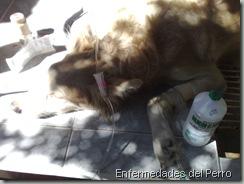 metritis en perros (2)