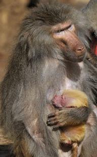 Babuíno filhote e sua mãe