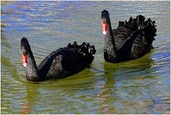 Cisnes-negros (Cygnus atratus)