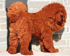 Cão foi vendido por cerca de US$ 1,5 milhão. (Foto: Reprodução/Daily Telegraph)