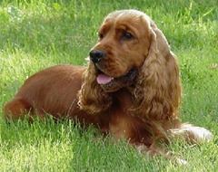 english_cocker_spaniel