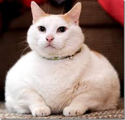 kucing obese 9