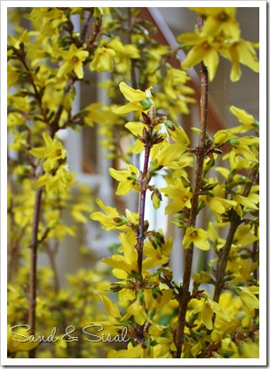 Forsythia close up