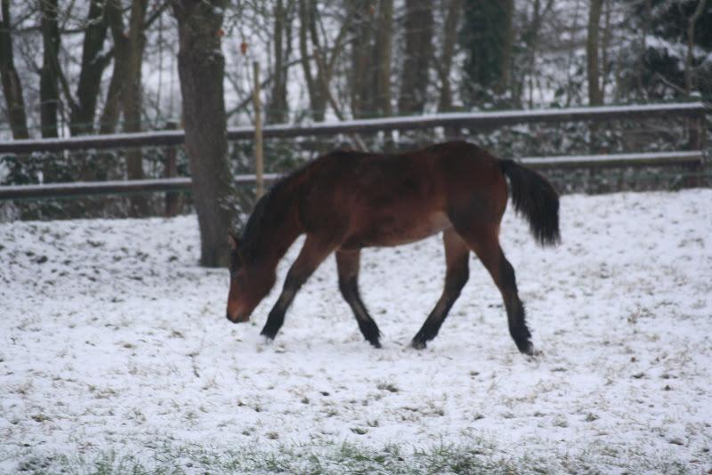 Le  calvados sous la neige... les chevaux s'éclatent! IMG_4958