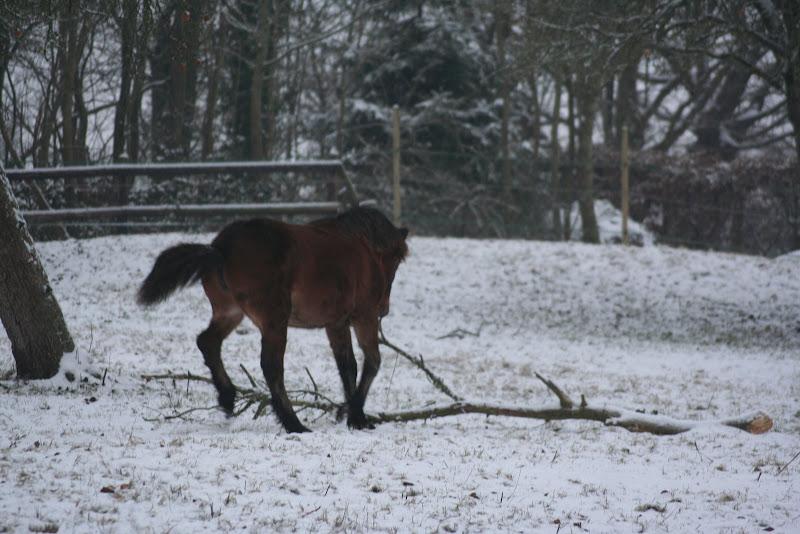 Le  calvados sous la neige... les chevaux s'éclatent! IMG_4953