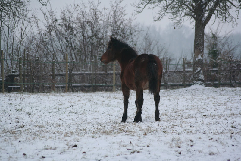Le  calvados sous la neige... les chevaux s'éclatent! IMG_4939