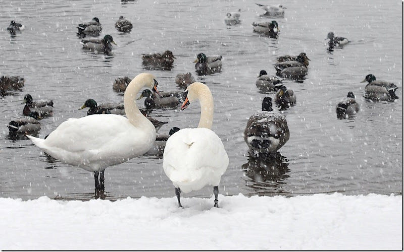 swans in snow