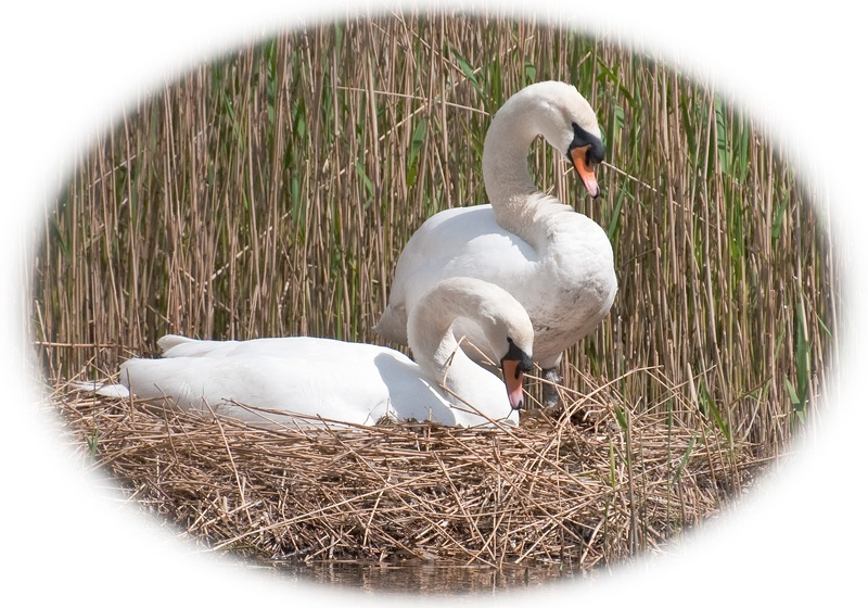 nesting swans