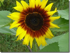 blanketsunflower