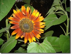 sunflower07