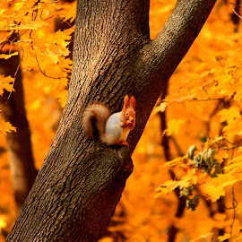 Squirrel  by Sunny Guddoo - Animals Other ( russia, fall, moscow, forest, squirrel )