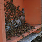 api indaffarate