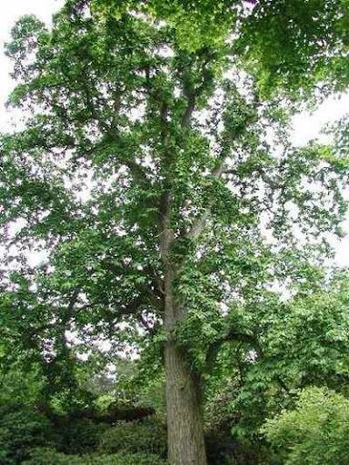 شجرة الكستناء castanea_sativa.jpg