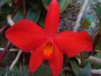 Orquídea/Sophronitis coccinea