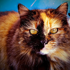 Rose is watching You! by Sue Delia - Animals - Cats Portraits ( calico, cat, yellow eye's, long hair,  )