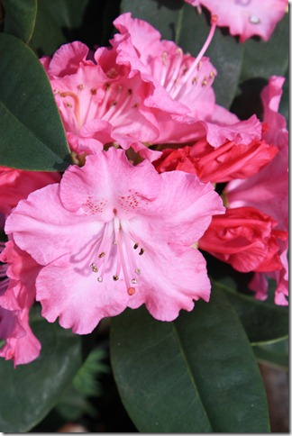 nydelig rosa rhododendron