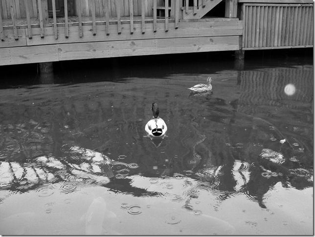 100_0620 bw duck from psd copy
