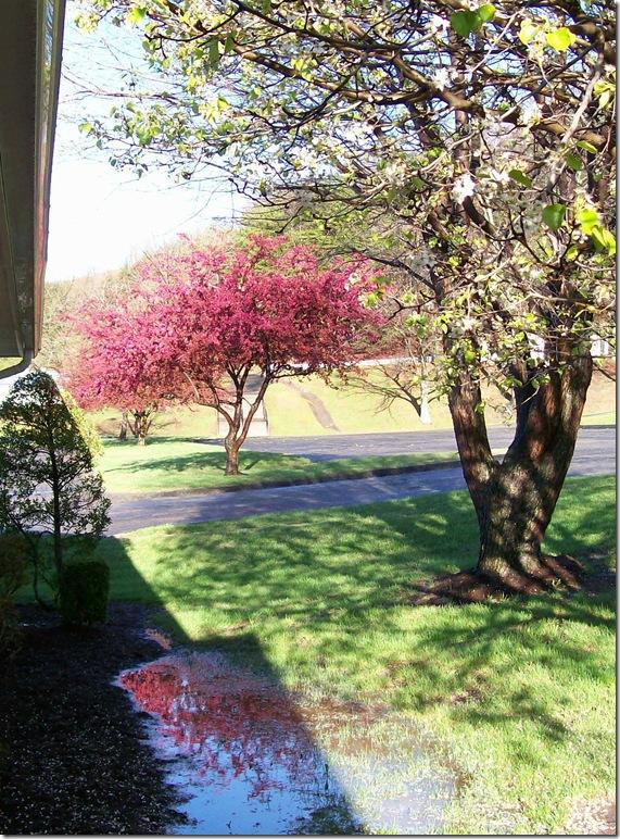 pink tree reflection026