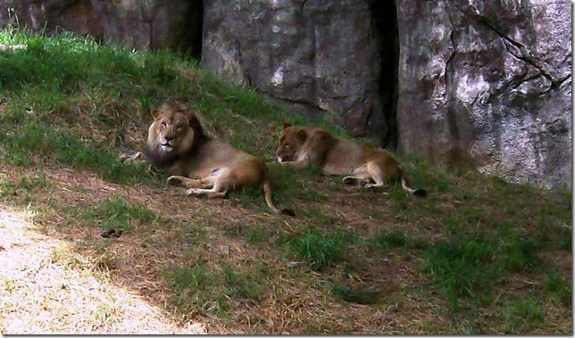 zoo day079-2 lions -b crpd