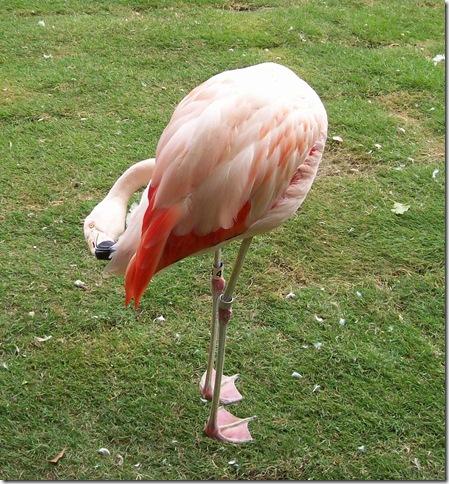 zoo day199 - flamingo