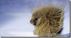 Porcupine_EN-US15128822