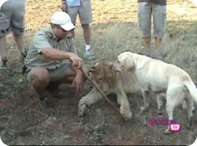 Cão labrador e leõezinhos