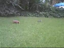 coelho x cachorro
