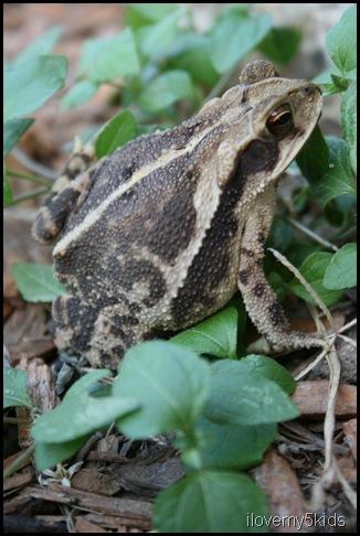 Little TX frog