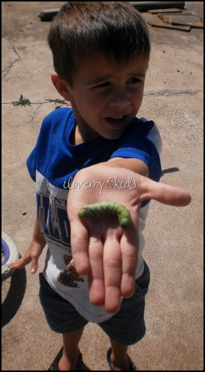 Green Horn Caterpillar