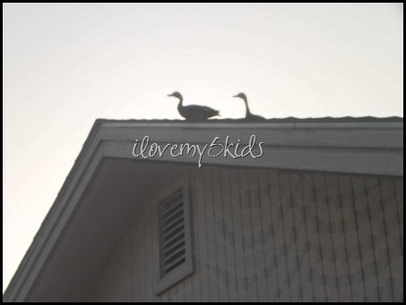 Two Ducks on the Roof