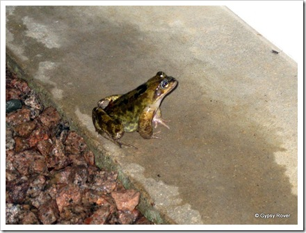 The March toad which we found sitting on our doorstep after arriving home from Peterborough.