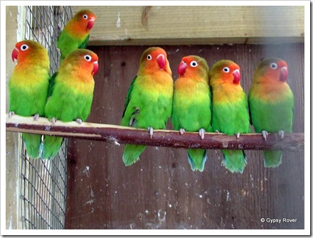 Peach Faced Lovebird's, Perriswood Falconry.