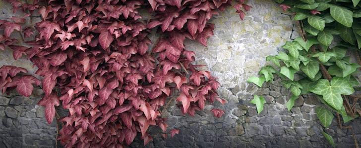 Ivy grower creare l 39 edera rampicante su cinema4d angelo for Edera rampicante