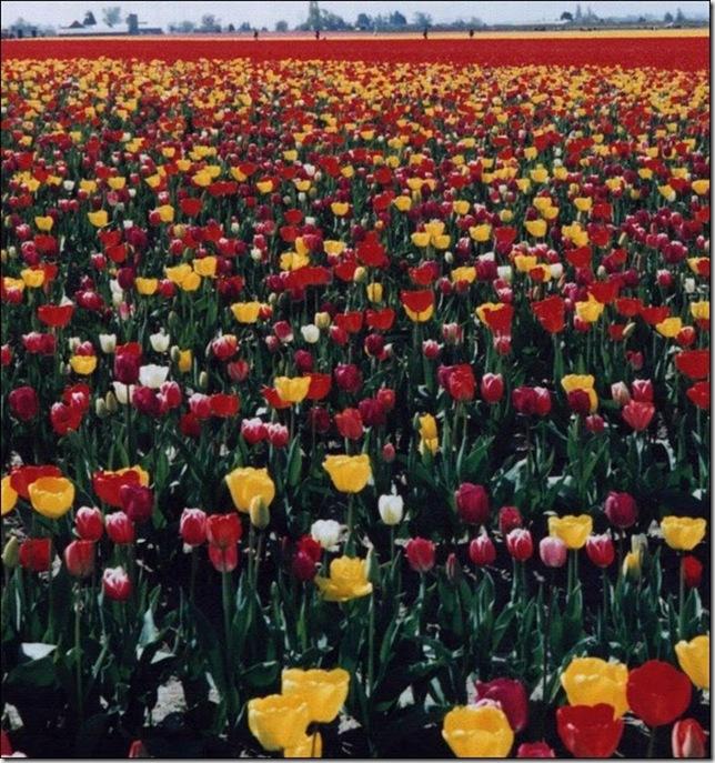tulip-fields10