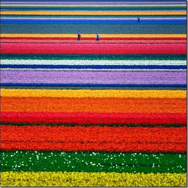 tulip-fields3