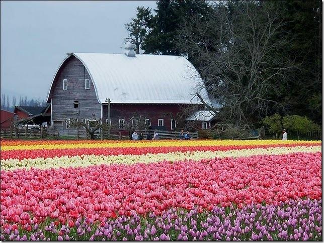 tulip-fields9