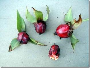Trillium seed pods