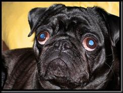 cão de olho azul