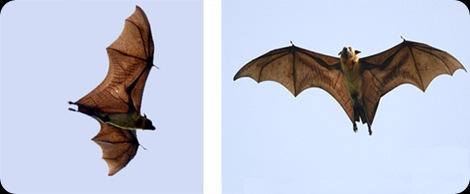 morcego-gigante