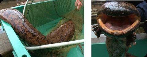salamandra-gigante