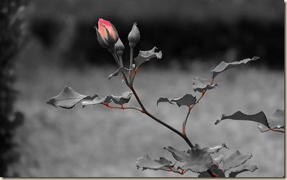 Rose_04_20070625