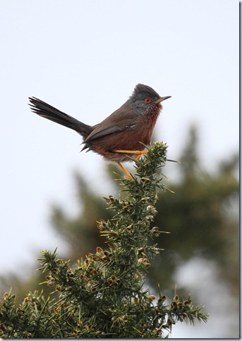 dartfordwarbler1