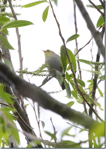 woodwarbler