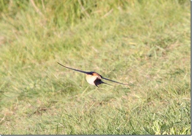 redrumpedswallow5