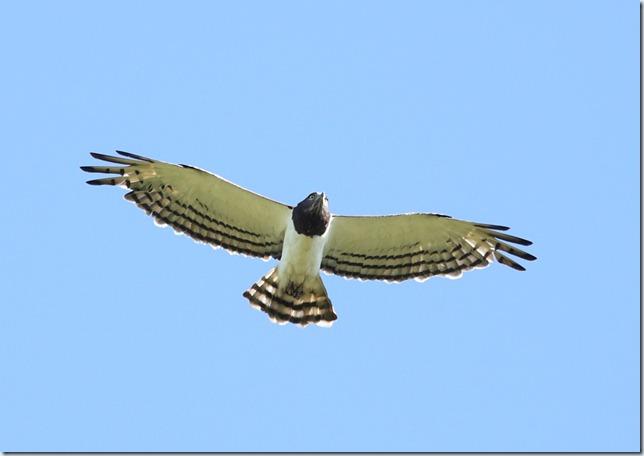 bb snake eagle